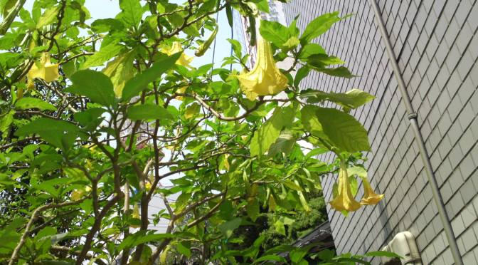 Angel Trumpets in Shizuoka City: Beautiful,  but Beware!