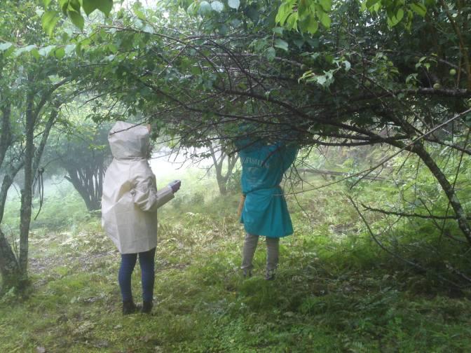 Organic Japanese Plums Harvesting in Higashimine, Shizuoka City, with Marufuku Seicha Co.!