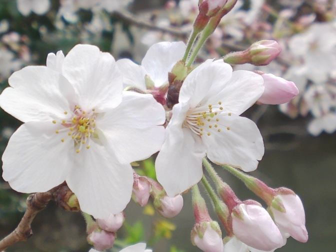 Cherry Blossoms in and around Sumpu Castle in Shizuoka City!